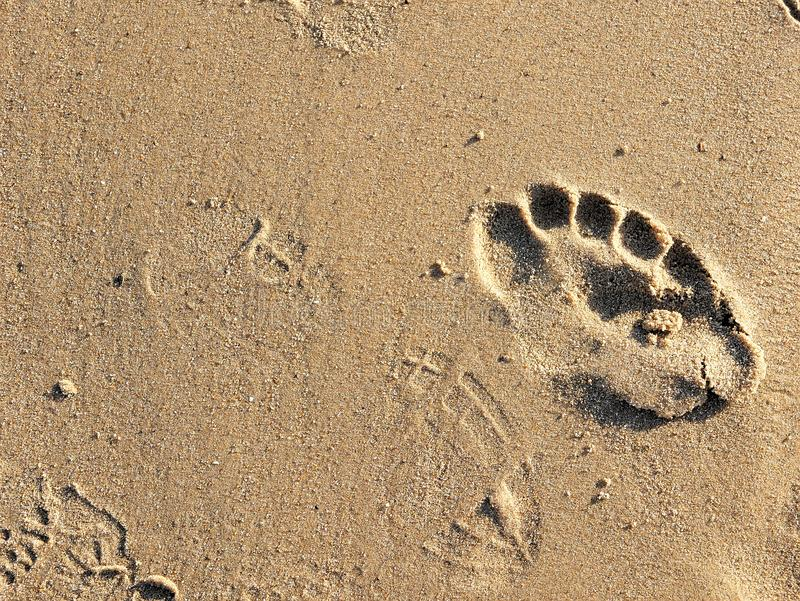 Footprints in sand on California beach in the summer. On a travel vacation, this could be used for traveling blogs, copy space. Footprints in sand on California royalty free stock image