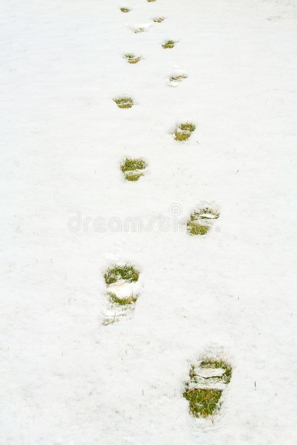 Footsteps in snow on green yellow grass. Ground covered with fresh snow and a print of human footrint. Snow texture. White winter wallpaper royalty free stock photo