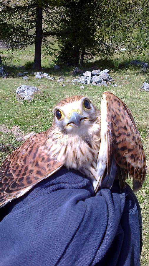 Foppolo, en las montañas de Orobie durante una ayuda de la excursión un pequeño halcón rojo herido, entonces entregado al cuerpo  imagenes de archivo