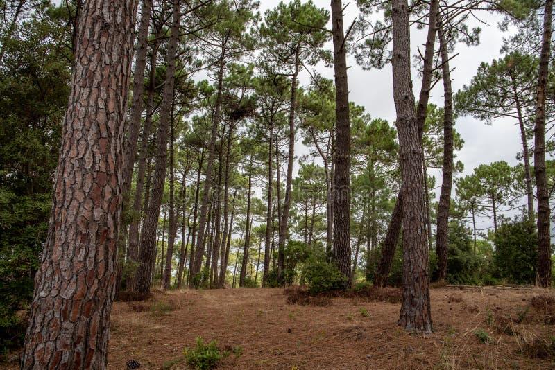 Forêt de pins 免版税库存图片