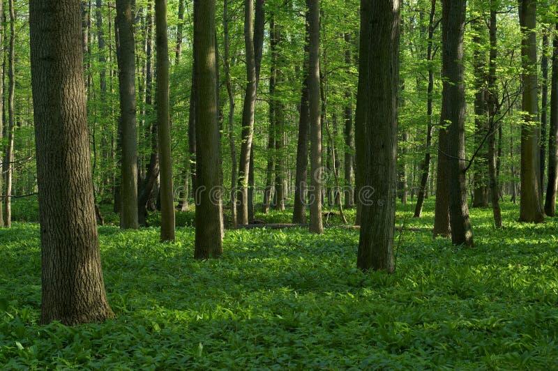 Forêt à feuilles caduques de source image libre de droits