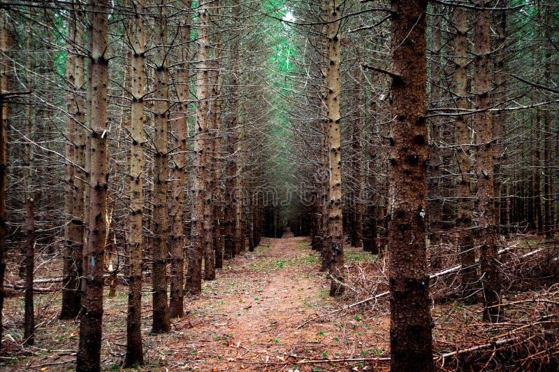 Forêt à feuilles persistantes avec le point de disparaition en couleurs photographie stock