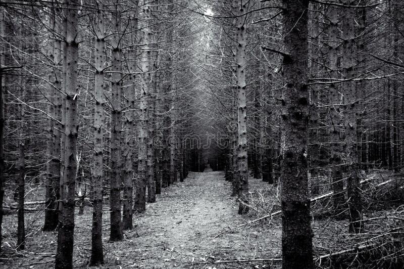 Forêt à feuilles persistantes avec le point de disparaition en noir et blanc photo stock