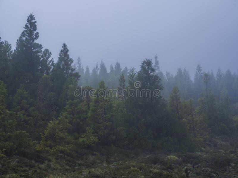 Forêt açoréenne perdue en nuages menteur du bas avec les conifères à feuilles persistantes enveloppés en brume dans une vue scéni photographie stock