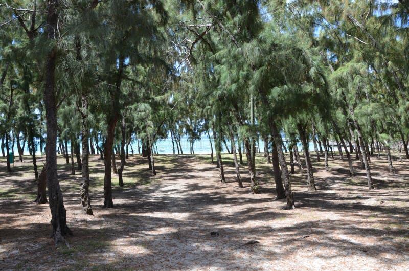 Forêt australienne de pin - equisetifolia de Casuarina photos stock