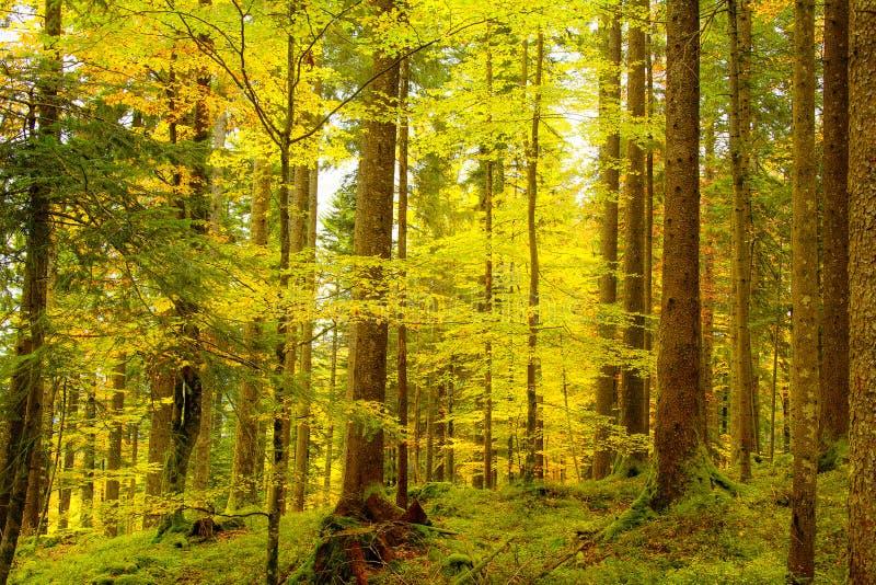 Forêt automnale d'or images libres de droits