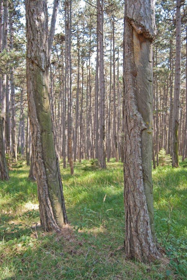 Forêt autrichienne de Pinus nigra de pin images stock