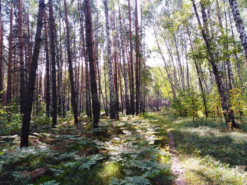 Forêt avec des bouleaux, des pins et des fougères images stock