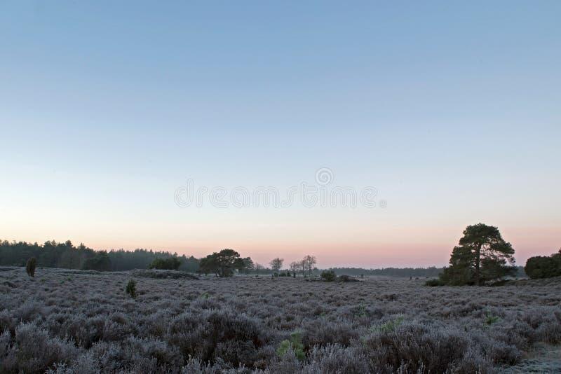 Forêt avec la bruyère avec la gelée pendant le début de la matinée avec le brouillard images stock