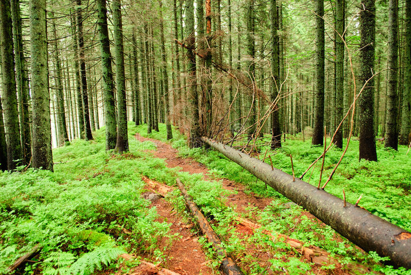 Forêt avec les arbres tombés photos stock