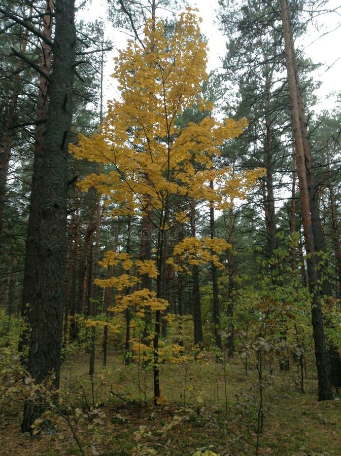 Forêt biélorusse mélangée image stock