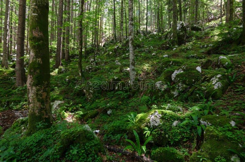 Forêt bien lumineuse avec de la beaucoup de mousse au sol, Slovénie, l'Europe photos stock