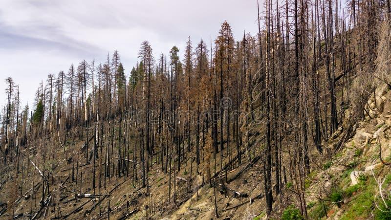 Forêt brûlée comme résultat du feu de forêt 2018 de Ferguson en parc national de Yosemite, sierra Nevada Mountains, la Californie photographie stock libre de droits