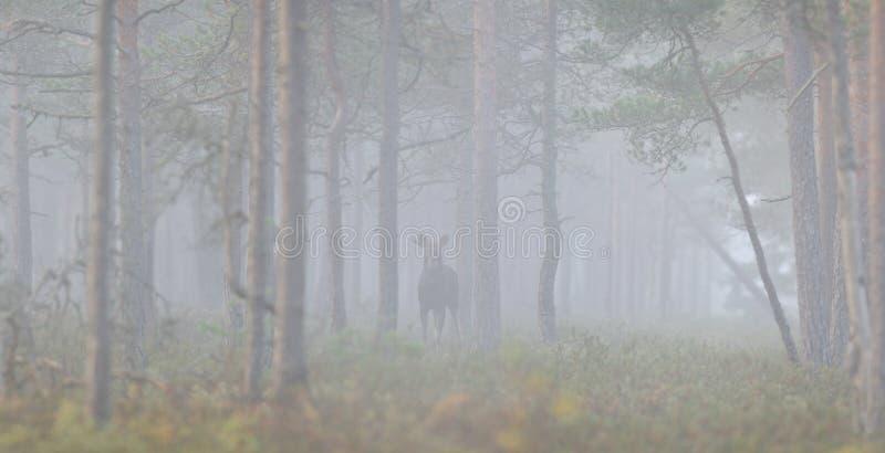 Forêt, brouillard, silence et orignaux photographie stock libre de droits