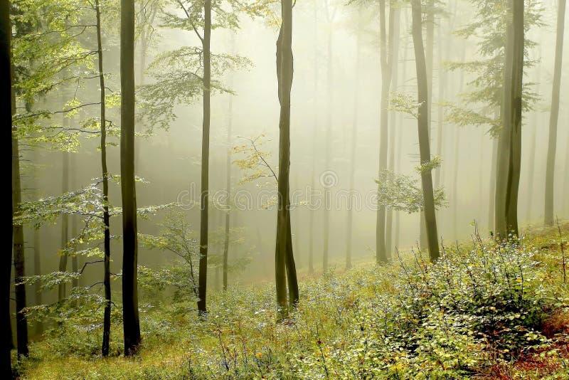 Forêt brumeuse avec des rayons du soleil de début de la matinée images libres de droits