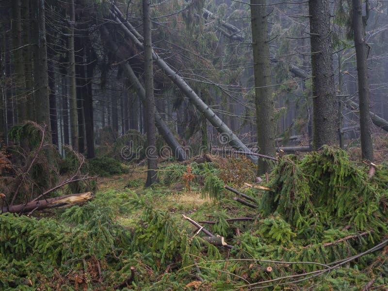 Forêt brumeuse d'arbre de sapin d'automne avec les ventis et et le coupe-vent photo libre de droits