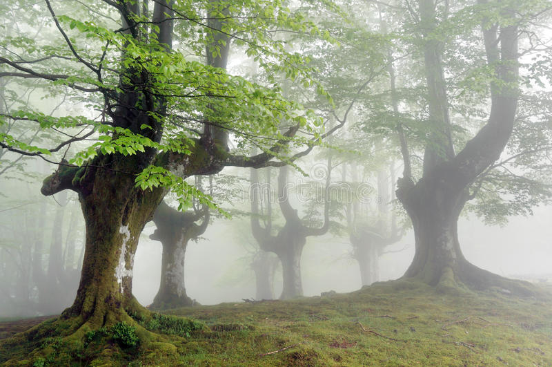 Forêt brumeuse de hêtre photos stock