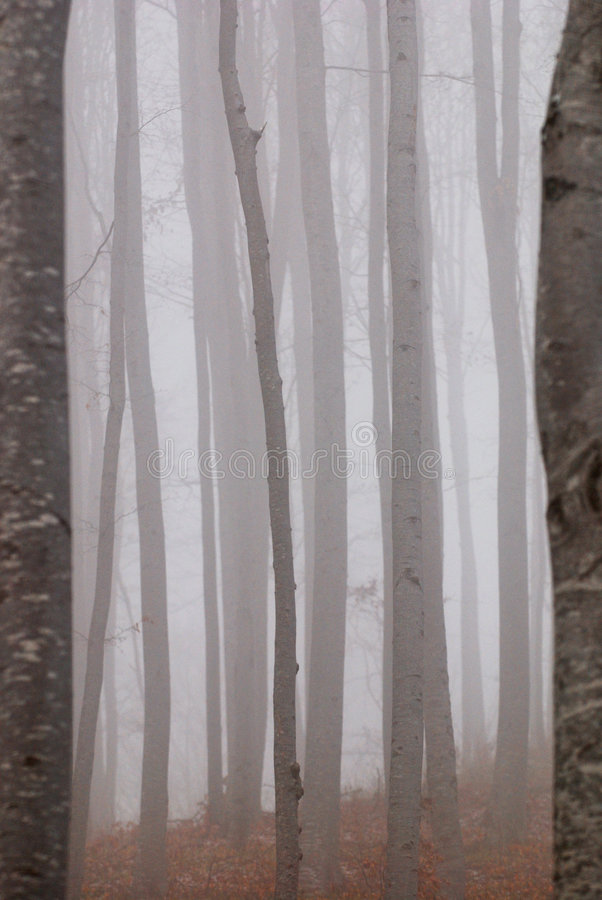 Forêt brumeuse de hêtre   photos libres de droits