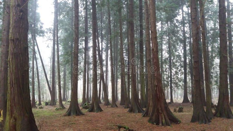 Forêt brumeuse de thuja images libres de droits