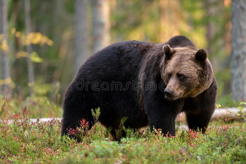 forêt brune d'ours images stock