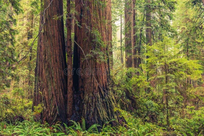 Forêt côtière de séquoia photographie stock libre de droits