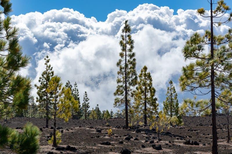 Forêt canarienne verte de pin et gisements de lave volcaniques sur la plus haute montagne dans le bâti Teide, Tenetife, îles Cana photos libres de droits