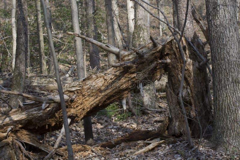 Forêt cassée d'arbre au printemps image libre de droits