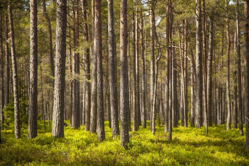 Forêt claire de pin photo stock