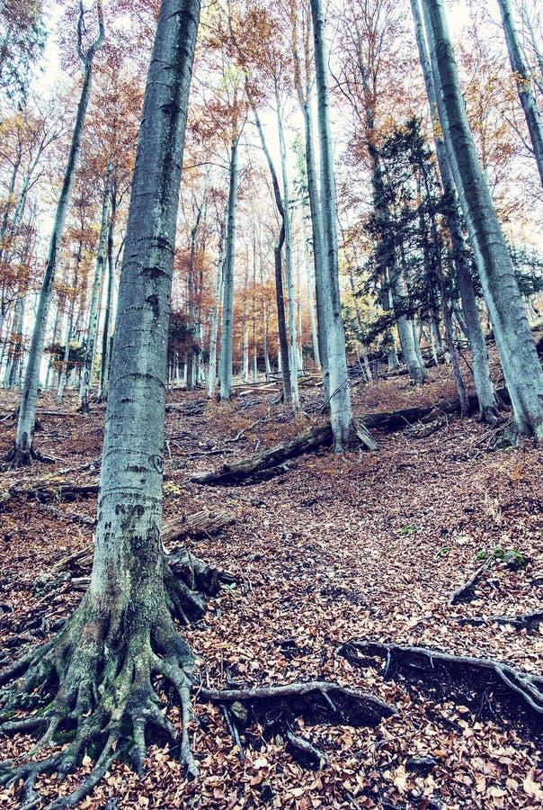 Forêt colorée d'automne avec les arbres grands images stock