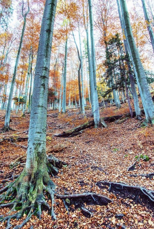 Forêt colorée d'automne avec les arbres grands, filtre de beauté photographie stock libre de droits