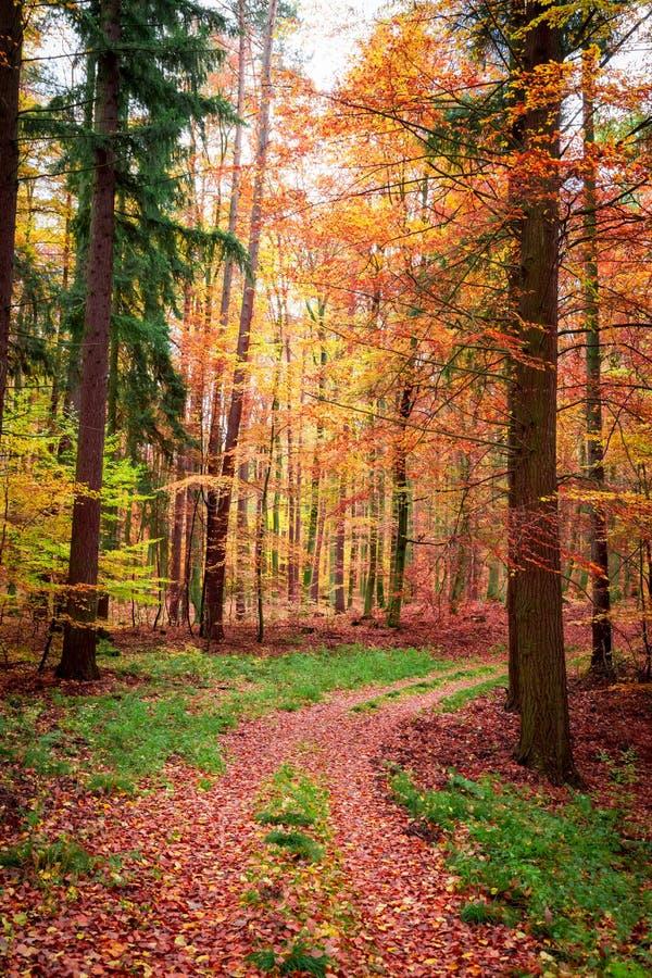 Forêt complètement de feuilles brunes et d'or en automne image libre de droits