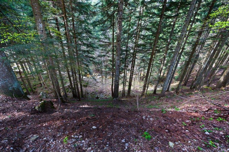 Forêt conifére image stock