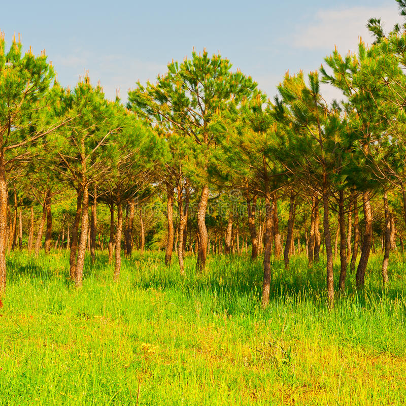 Forêt conifére photo stock