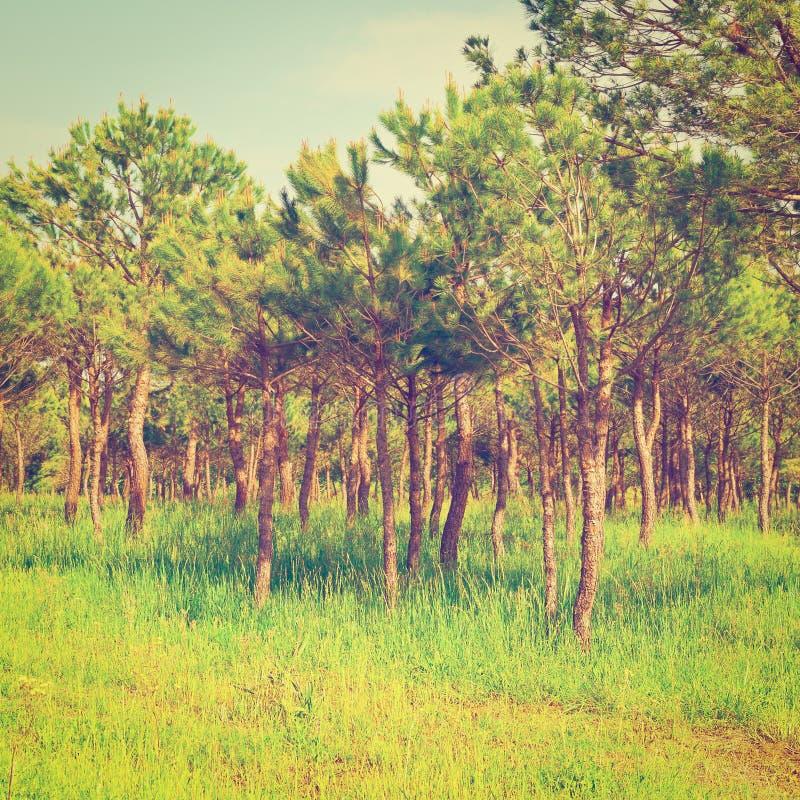 Forêt conifére photos stock