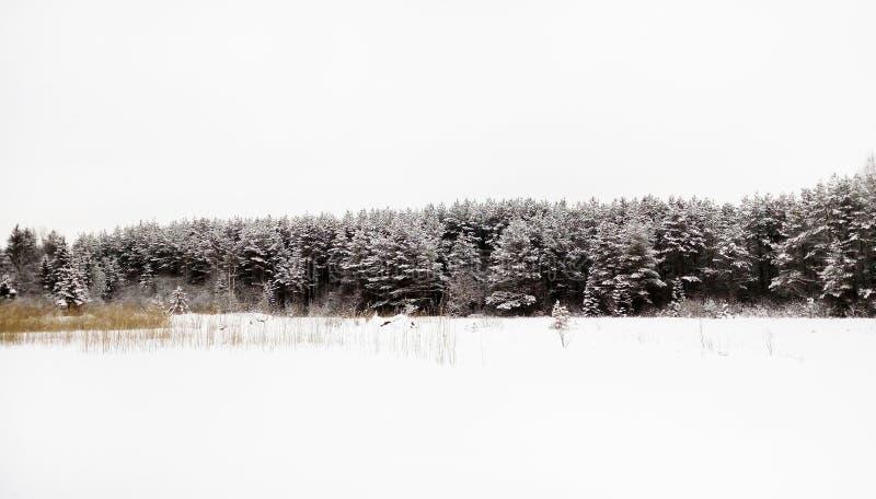 forêt conifére d'hiver, ciel blanc et neige Russie photos libres de droits