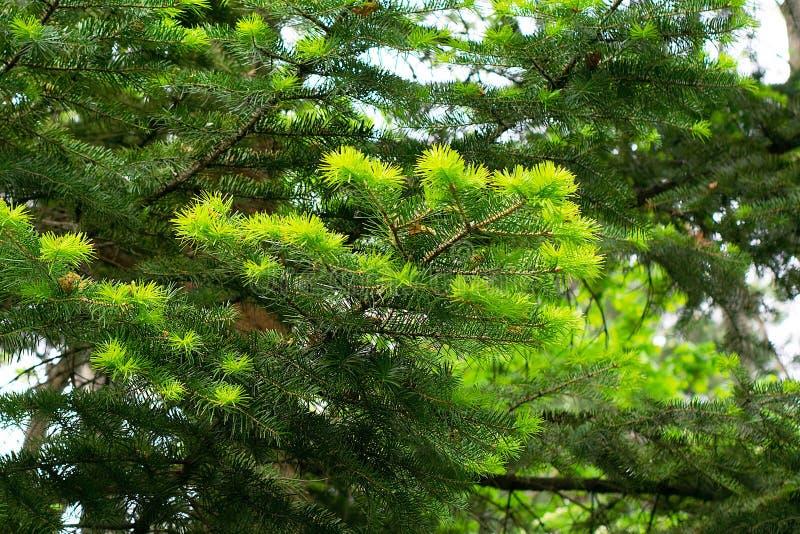 Forêt conifére en été par temps ensoleillé image stock