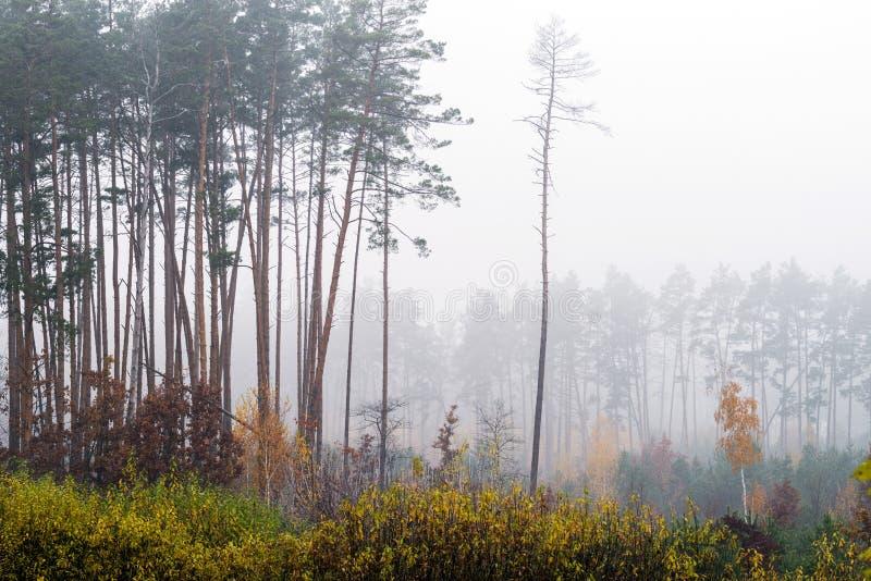 Forêt conifére en automne Paysage d'automne avec les pins et le brouillard image libre de droits