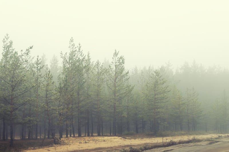 Forêt conifére mystérieuse près du chemin de terre rural couvert de brouillard lourd dans le matin tôt d'automne Pins avec le bro image libre de droits