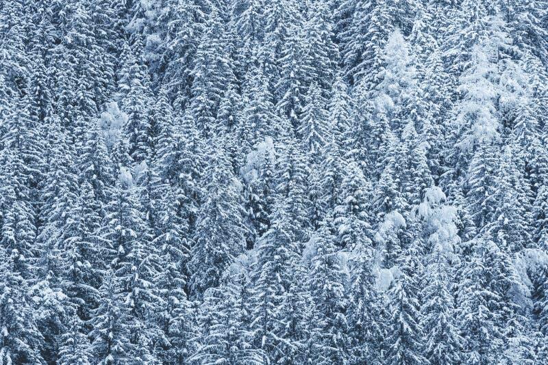 forêt couverte de neige, sapins avec la neige sur des branches image stock