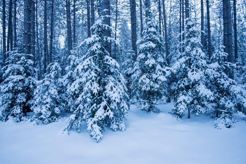 Forêt couverte par neige bleue d'hiver images stock