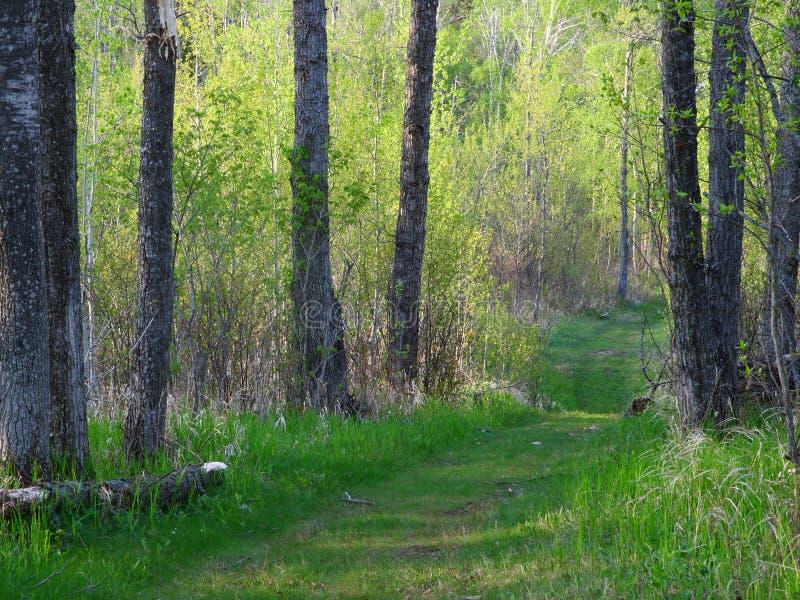 Forêt d'été au Minnesota photo stock