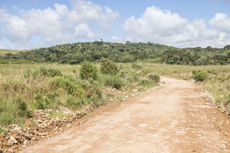 Forêt d'angustifolia de route et d'araucaria photographie stock libre de droits