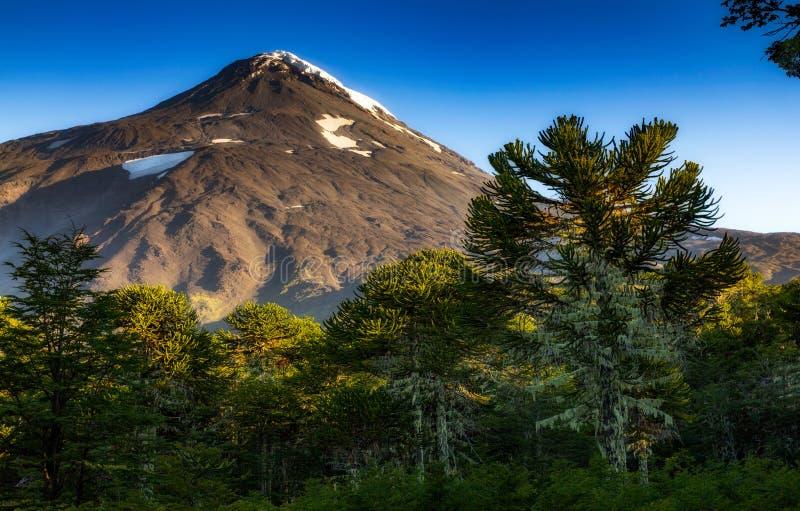 Forêt d'Araucarias au volcan Lanin de la base o photos stock