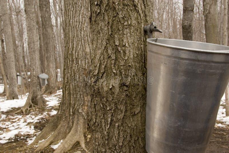 Forêt d'arbre d'érable images libres de droits