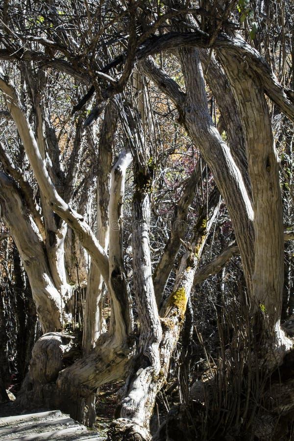 Forêt d'arbre de bouleau photo stock