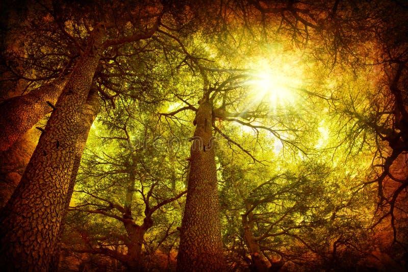 Forêt d'arbre de cèdre images stock
