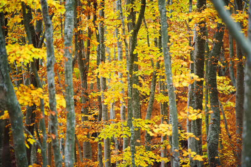 Forêt d'arbre de hêtre photo libre de droits