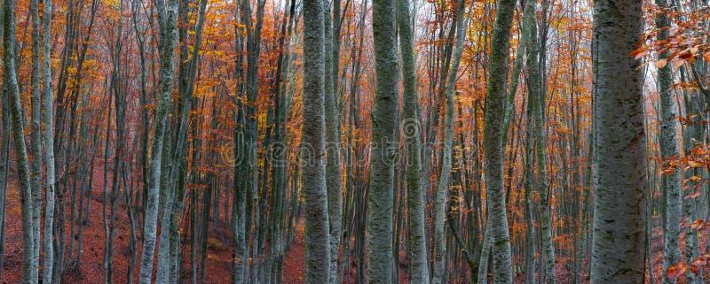 Forêt d'arbre de hêtre images stock