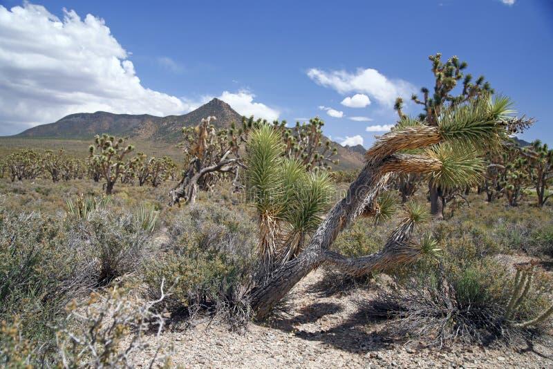 Forêt d'arbre de Joshua, Arizona, Etats-Unis image libre de droits