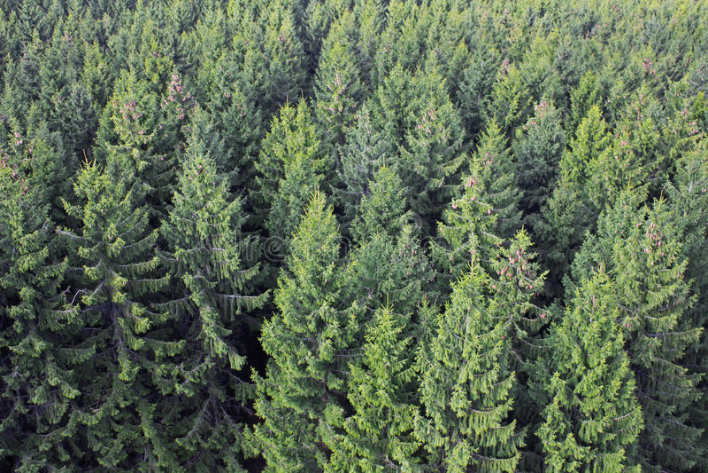 Forêt d'arbre de pin photo stock